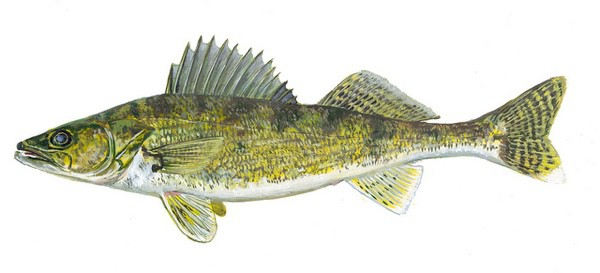 Flickr/Creative Commons illustration of a walleye courtesy of the Wisconsin Department of Natural Resources.