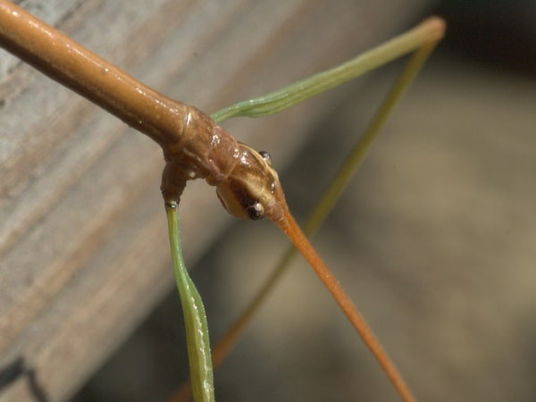 Flickr/Creative Commons photo of a walking stick by Bob Webster.