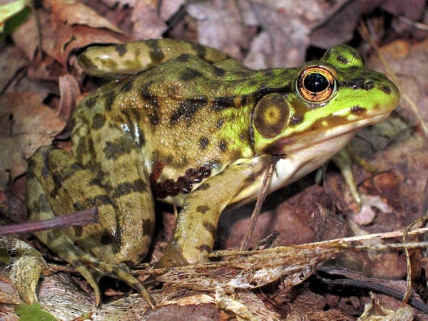 frog grenouille