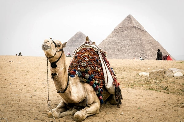 Camel in front of a pyramid in Egypt.