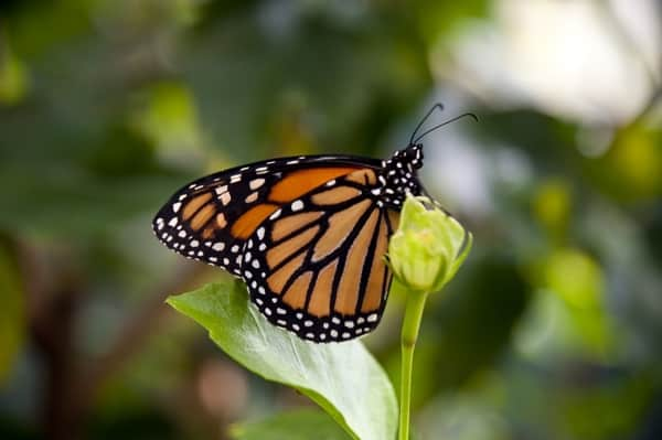 Closeup of a monarch butterfly on a green leaf.