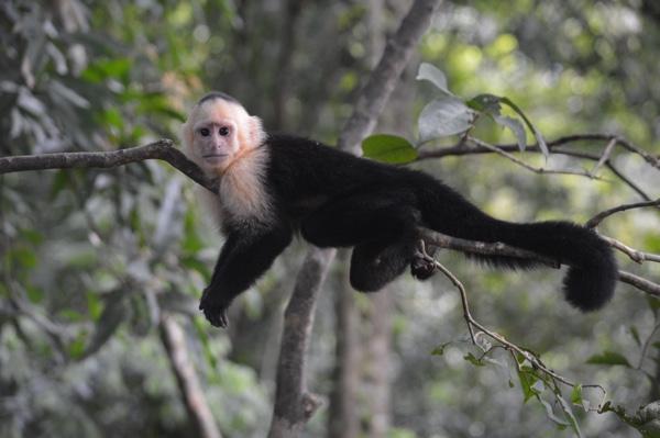 Capuchin monkey in Costa Rica. Photo by Joy Ernst on Unsplash.