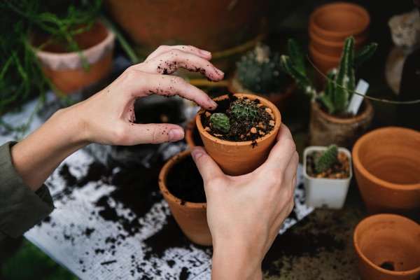 Hands planting seedling in a clay pot.